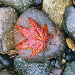 maple-leaf 240x240